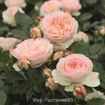 Роза флорибунда Pastella. Пастела. Тантау.