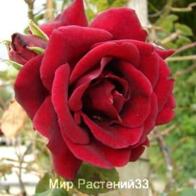 Роза плетистая Guinée. Гине. Дэвид Остин.