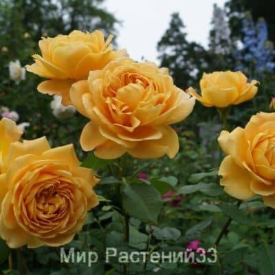 Роза кустовая Golden Celebration. Голден Селебрейшен. Дэвид Остин.