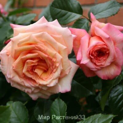 Роза плетистая Barock. Барок. Тантау.