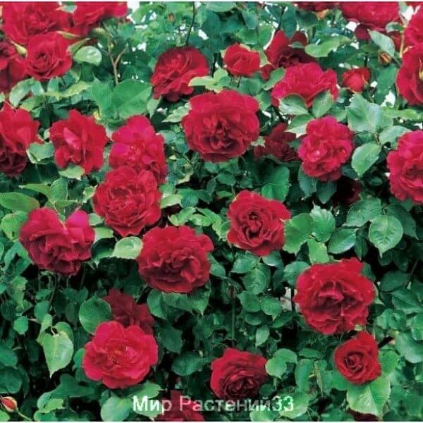 Роза плетистая Étoile de Hollande. Этуаль де Холанд. Дэвид Остин.
