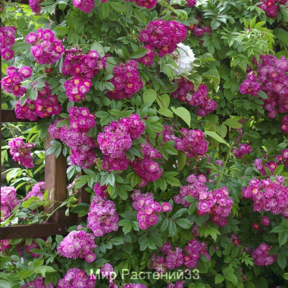 Роза плетистая Perennial Blue. Перениал Блу. Тантау.