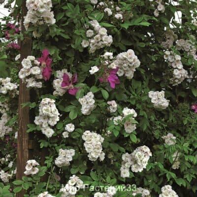 Роза плетистая Perennial Blush. Перениал Блаш. Тантау.
