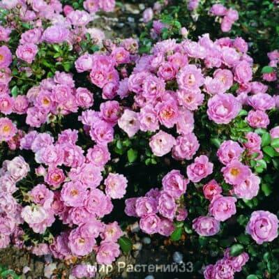 Роза почвопокровная Sommerwind. Соммервинд. Тантау.
