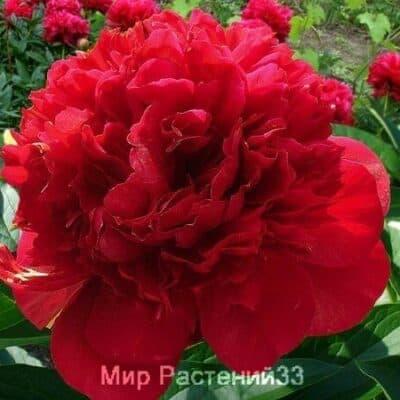 Пион Arkadiy Gajdar (Аркадий Гайдар)