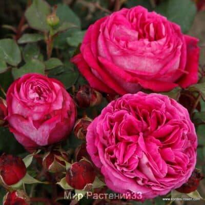 Роза флорибунда Freifrau Caroline. Фрайфрау Каролина. Кордес.