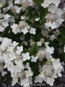 Гортензия метельчатая Прим Уайт (Prim White)