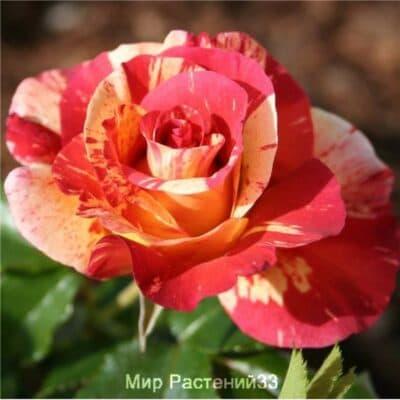 Роза флорибунда Alfred Sisley. Альфред Сислей. Дельбар. Delbar