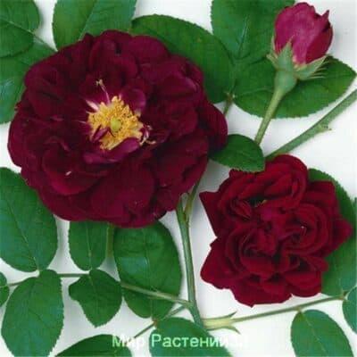 Роза галльская Tuscany Superb. Таскани Суперб. Дельбар. Delbar