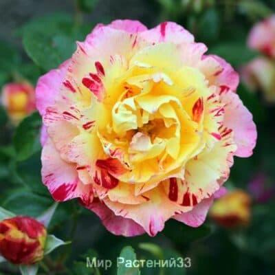 Роза флорибунда Camille Pissarro. Камиль Писсарро. Делбар.