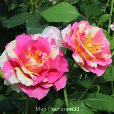 Роза чайно-гибридная Claude Monet. Клод Моне. Делбар.