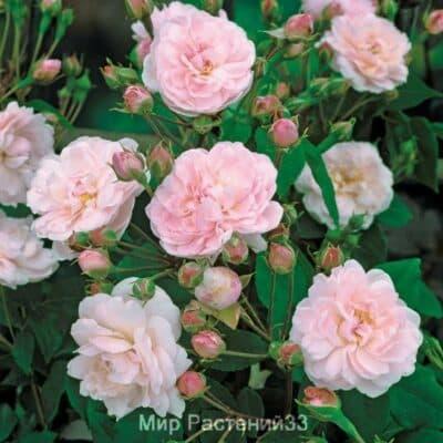 Роза нуазетовая (плетистая) Blush Noisette. Блаш Нуазет. Дельбар. Delbar