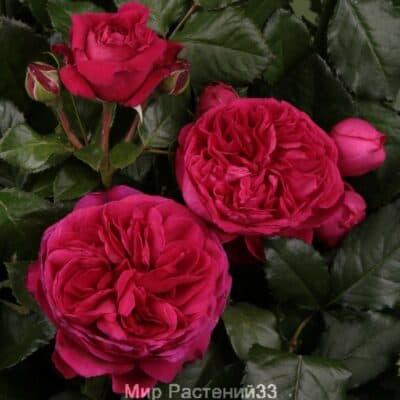 Роза чайно-гибридная Marietta. Мариета. Тантау.