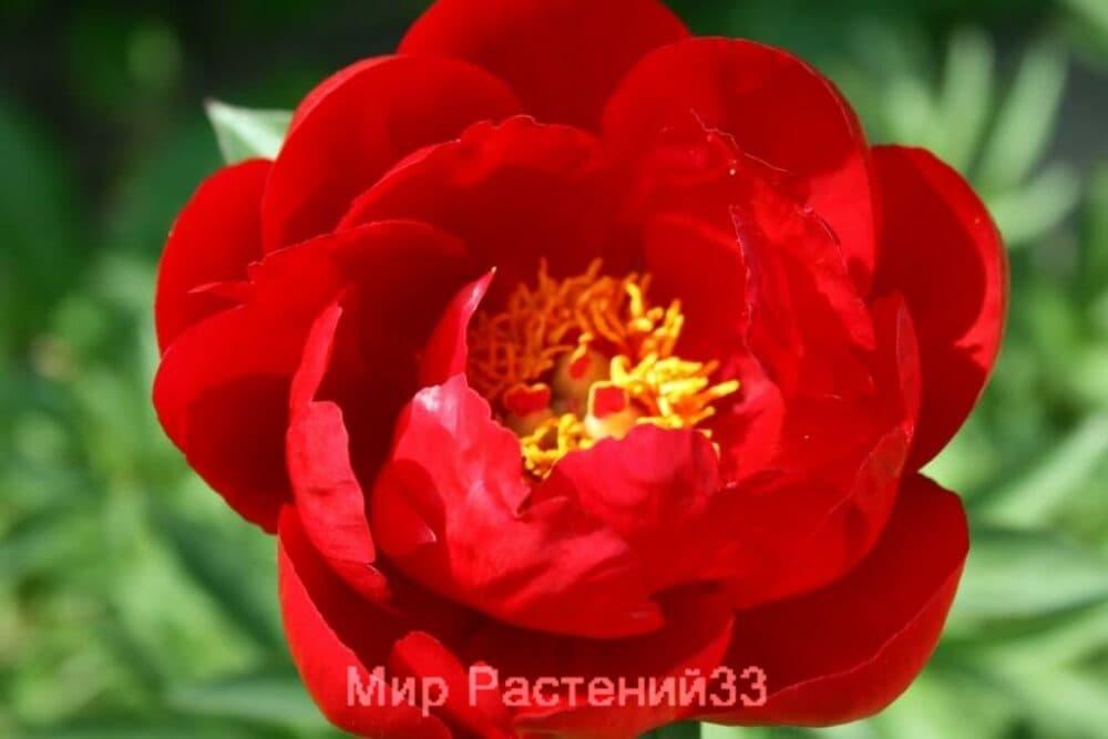 Пион RED RED ROSE (рэд рэд роуз)