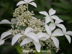 Гортензия метельчатая Грейт Стар (Great Star)