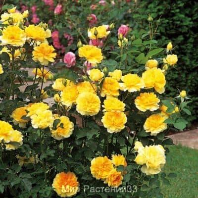 Роза кустовая Molineux. Молинё. Дэвид Остин.