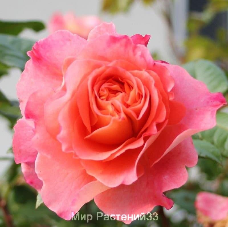 Штамбовая роза Augusta Luise. Августа Луиза /90 см. Тантау.