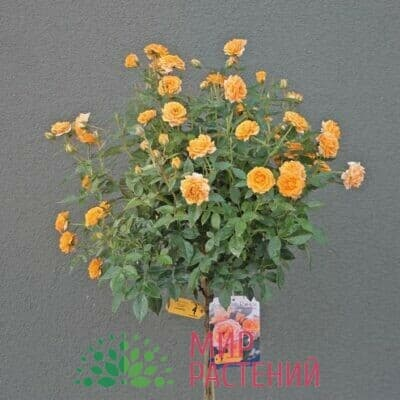 Штамбовая роза Clementine. Клементин /90 см. Тантау.