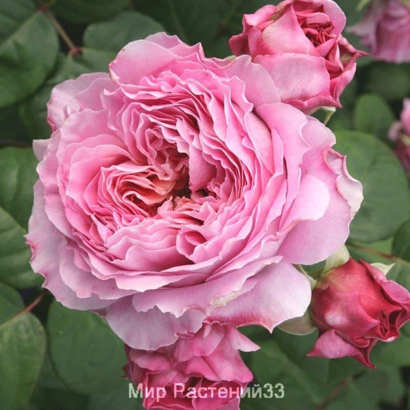 Роза чайно-гибридная Eisvogel. Айсвогель. Тантау.