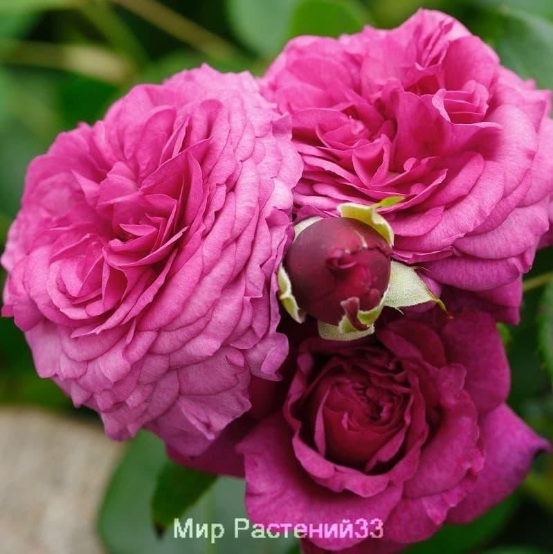 Роза флорибунда Kaffe Fassett Rose. Кафе Фасет Розе. Тантау.