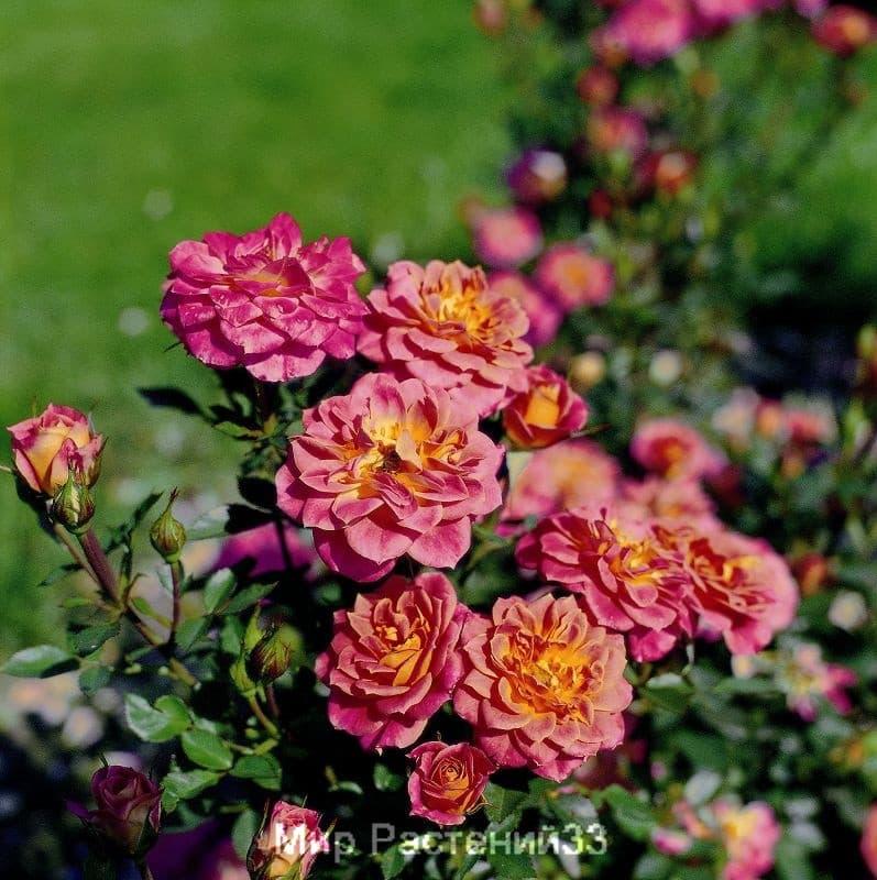 Роза патио Mandarin. Мандарин. Тантау.