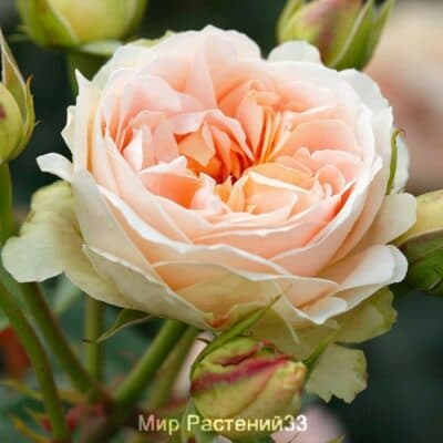Роза кустовая Matthias Claudius Rose. Матиас Клодиус Роз. Тантау.