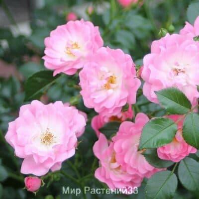 Штамбовая роза Satina. Сатина /90 см. Тантау.