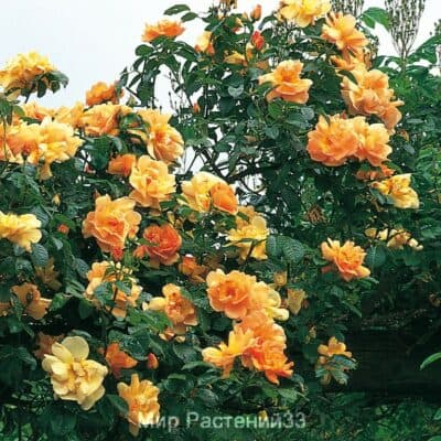 Роза плетистая Maigold. Мэйголд. Дэвид Остин.