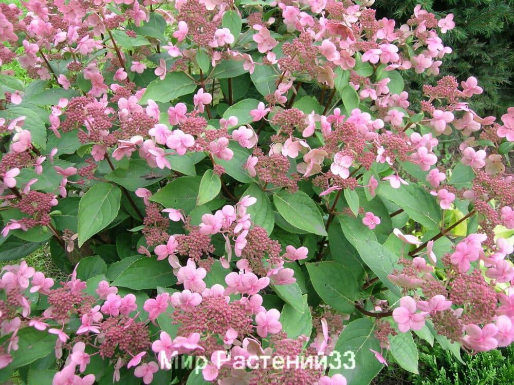 Гортензия метельчатая Дарума (Dharuma)