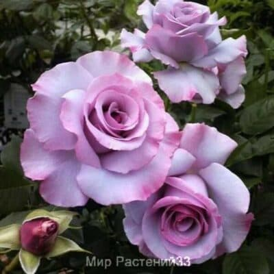 Роза чайно-гибридная Dioressence. Диоресенс. Делбар.