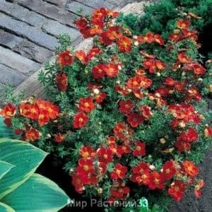 Лапчатка кустарниковая Мариан Ред Робин (Marian Red Robin)