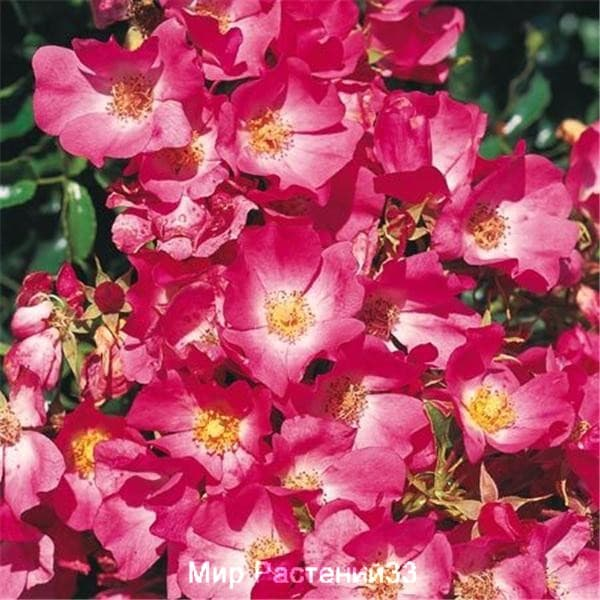 Роза полиантовая Avalanche Rose. Авалонш Роз. Делбар.