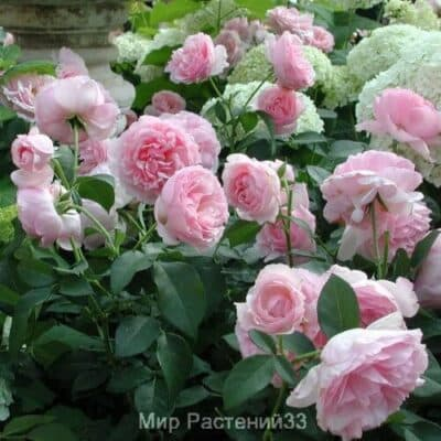 Роза флорибунда Eckart Witzigmann. Экарт Вицигманн. Делбар.