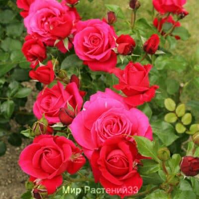 Роза флорибунда Rubinchen. Рубиншён. Дельбар. Delbar