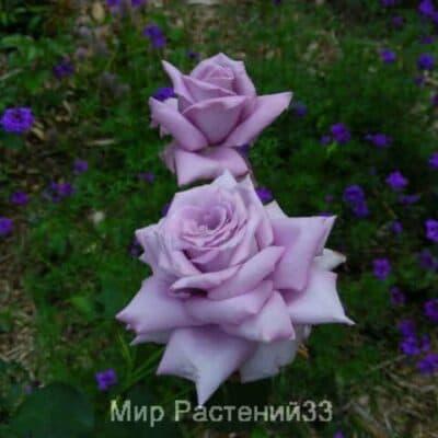 Роза чайно-гибридная Mamy Blue. Мами Блу. Делбар.