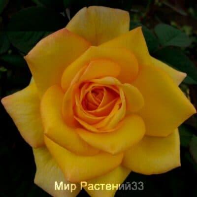 Роза флорибунда Ô Sole Mio. О Соле Мио. Дельбар. Delbar