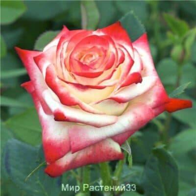 Роза чайно-гибридная Impératrice Farah. Императрис Фара. Делбар.