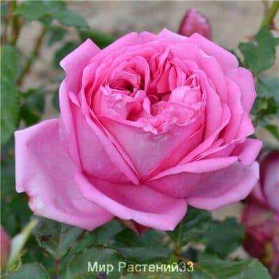 Роза чайно-гибридная Pompadour. Помпадур. Делбар.