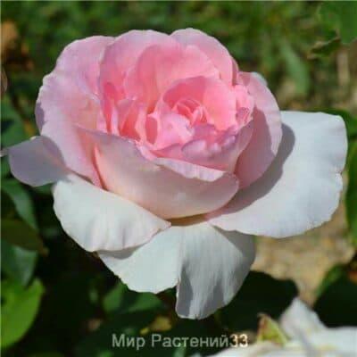 Роза чайно-гибридная Grand Siècle. Гранд Сиэкль. Дельбар. Delbar
