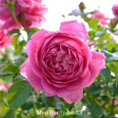 Роза флорибунда Saint-Exupéry. Сент Экзюпери. Дельбар. Delbar