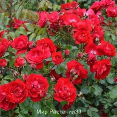 Роза штамбовая Centenaire de Lourdes (Rouge). Сентенёр де Люрд (Руж). Делбар.
