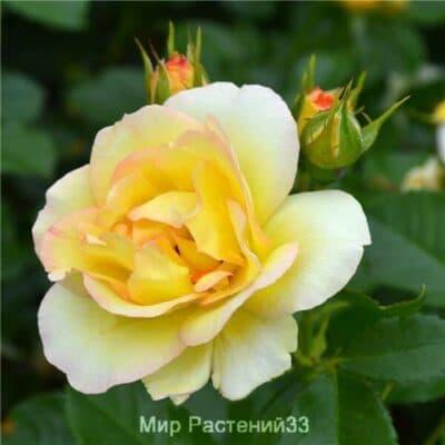 Роза флорибунда Centenaire de Lourdes (Jaune). Сентенёр де Люрд (Жён). Дельбар. Delbar