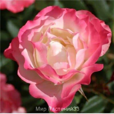 Роза флорибунда Carmagnole. Карманьоль. Дельбар. Delbar