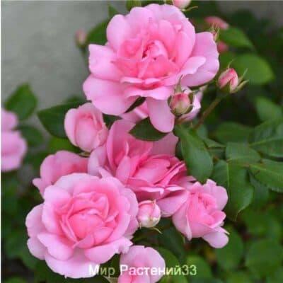 Роза флорибунда Centenaire de Lourdes (Rose). Сентенёр де Люрд (Роуз). Дельбар. Delbar
