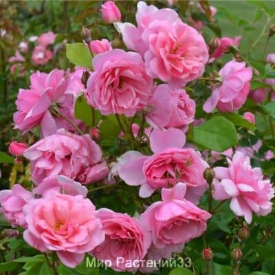 Роза полиантовая Milrose. Мильроуз. Делбар.