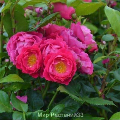 Роза полиантовая Bordure Magenta. Бордюр Межанта. Дельбар. Delbar