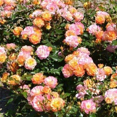 Роза полиантовая Bordure Camaïeu. Бордюр Камаё. Дельбар. Delbar