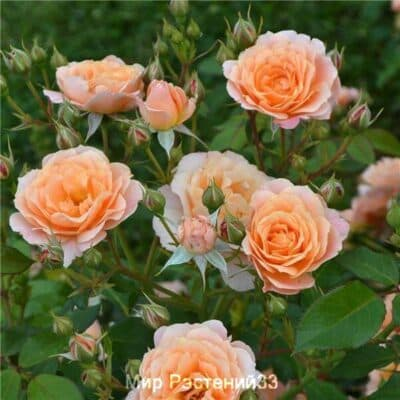 Роза полиантовая Bordure Abricot. Бордюр Абрикот. Дельбар. Delbar