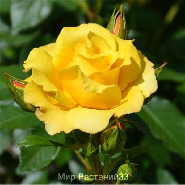 Роза полиантовая Bordure d´Or. Бордюр д'Ор. Делбар.