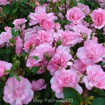 Роза полиантовая Bordure Rose. Бордюр Роз. Дельбар. Delbar